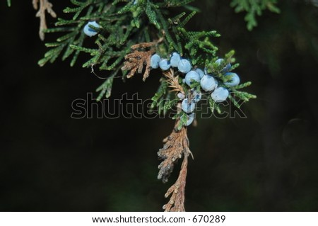 Hanging Blue Berries