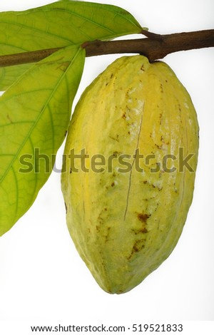 hanging cocoa pods