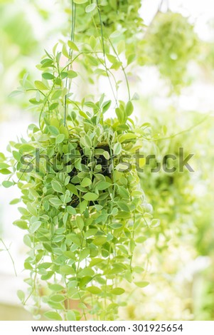 Hanging decorate green ivy plants in the garden, closeup with blurred background - stock photo