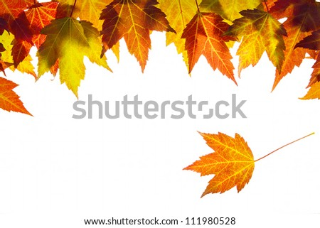 Hanging Fall Maple Leaves Border Isolated on White Background - stock photo