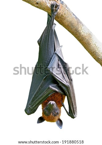 Hanging Lyle's flying fox isolated on white background, Pteropus lylei - stock photo