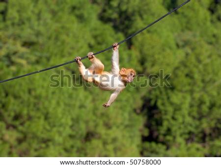 hanging monkey - stock photo