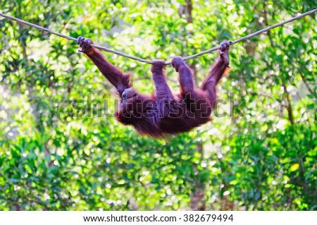Hanging Orangutan on a rope in Sabah Borneo, Malaysia.  - stock photo
