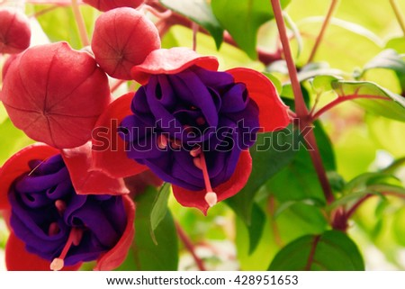 Hanging purple pink flower bulb stock photo royalty free 428951653 hanging purple pink flower bulb mightylinksfo