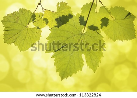Hanging Wine Grape Leaves on Green Blurred Background - stock photo