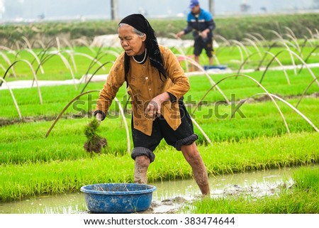 HANOI, VIETNAM - FEB 28,2016: Vietnam farmer rice paddy on field in Hanoi, Vietnam.