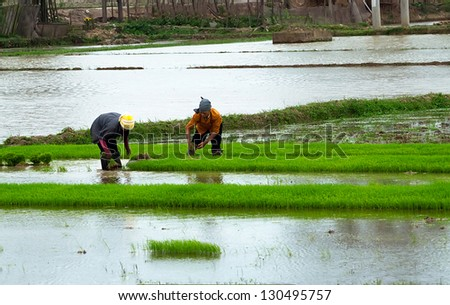 HANOI, VIETNAM - FEBRUARY 23: farmers planting rice in a field in HANOI, VIETNAM - FEBRUARY 23, 2013. Agriculture is a traditional economic sector of Vietnam.