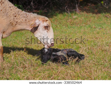 Happiness of motherhood: white sheep with newborn lamb - stock photo