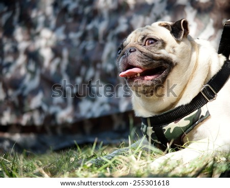 happy active white pug dog making funny serious face, wearing military pattern leash with a military decorated graphics tent, laying on green grass field outdoor under sunlight in good weather day  - stock photo