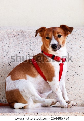 happy active young Jack Russel terrier dog portraits white and brown with red dog leash playing around a house with home outdoor surrounding making funny face under morning sunlight - stock photo