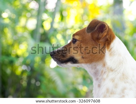 happy active young Jack Russel terrier dog white and brown color face and eyes close up with home outdoor surrounding making serious face under morning sunlight on a good weather day - stock photo