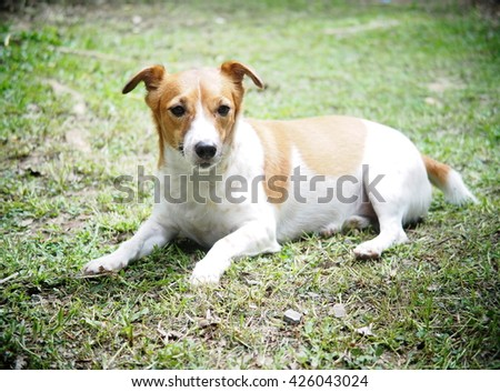 happy active young Jack Russel terrier dog white and brown color face and eyes close up with home outdoor surrounding making serious face under morning sunlight on green grass floor, good weather day