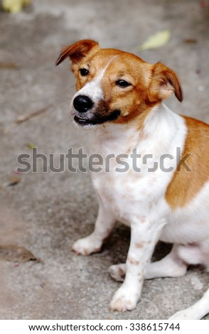 happy active young Jack Russel terrier dog white and brown color face and eyes playing outdoor making funny face under morning sunlight on a good weather day - stock photo