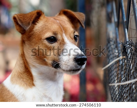 happy active young Jack Russel terrier dog white and brown playing around a house with home outdoor surrounding making serious face, sitting on the floor under morning sunlight in good weather day - stock photo