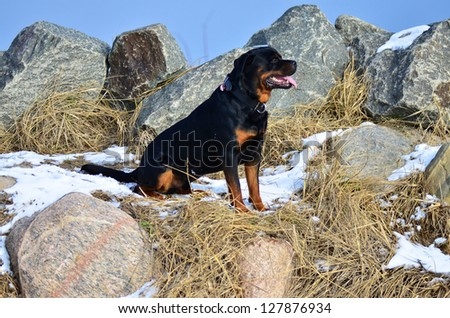 Happy adult Rottweiler sitting sideways in profile amongst rocks and grass on a patch of winter snow under a blue sky and sunshine - stock photo