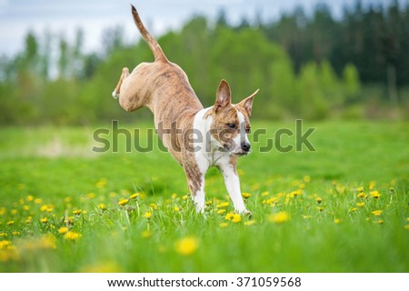 Happy american staffordshire terrier dog playing on the field in summer - stock photo