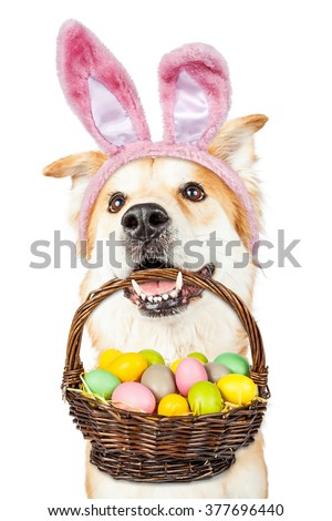 Happy and Golden Retriever mixed breed dog wearing Easter bunny ears holding a basket of colorful eggs in his mouth