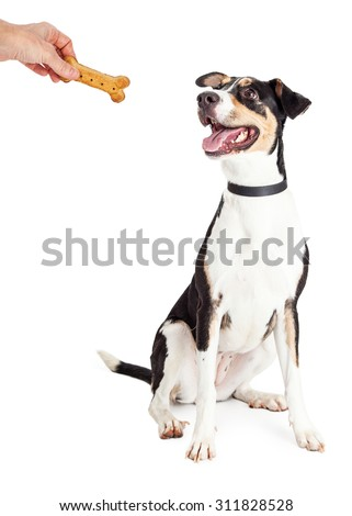 Happy and obedient dog sitting and looking up at the hand of a person holding a bone shaped biscuit treat - stock photo