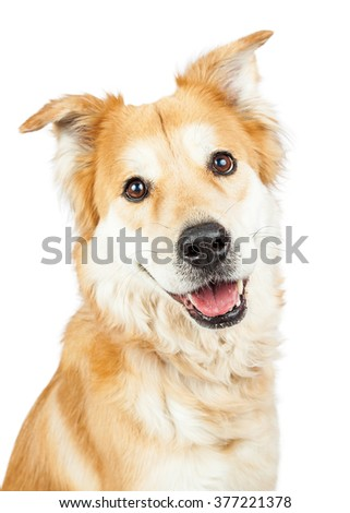 Happy and smiling cute Golden Retriever mixed breed dog closeup - stock photo