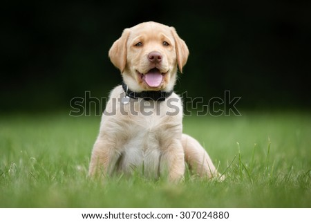 Happy and smiling labrador retriever puppy on a grass lawn on a sunny summer day with the dog tongue sticking out. - stock photo