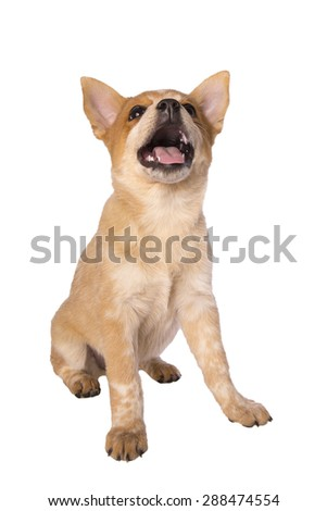 Happy Austrailan cattle dog puppy looking up with mouth open - stock photo