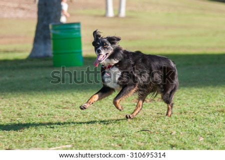 Happy Australian Shepard leaping and bounding across grass.