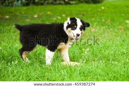 Happy Australian shepherd puppy on walk - stock photo