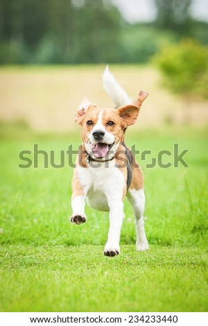 Happy beagle dog running with flying ears - stock photo