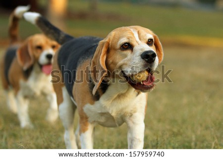 Happy beagle dogs with ball in mouth in Park
