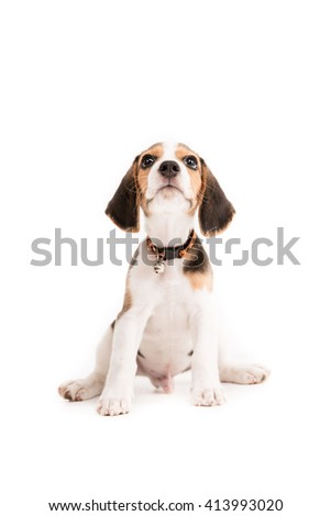 Happy beagle puppy on isolated background - stock photo