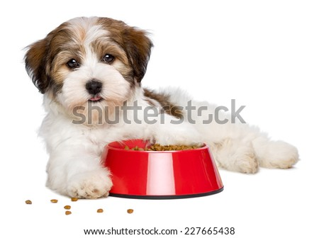 Happy Bichon Havanese puppy dog is lying beside a red bowl of dog food and looking at camera, semi frontal view - isolated on white background - stock photo