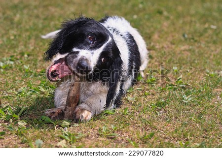 Happy black and white dog playing with the stick on the grass - stock photo