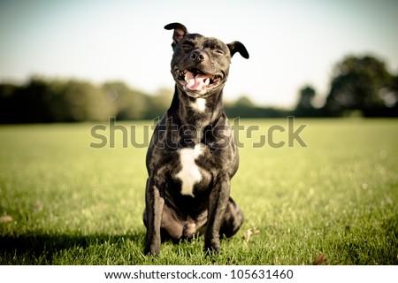 happy black bull terrier - stock photo