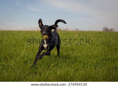 Happy black dog running towards viewer with yellow ball in mouth - stock photo