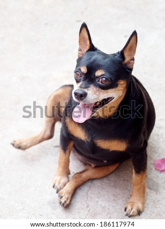 happy black fat lovely cute miniature pinscher dog smiling sitting on the concrete garage floor making funny face on a sunny day. - stock photo