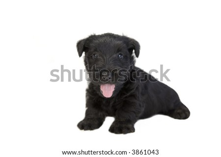 Happy black Scottish terrier pup on white