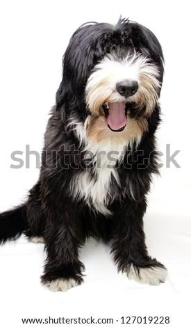 happy bobtail - stock photo