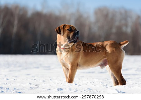 happy boerboels dog running outdoors winter
