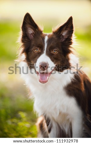 happy brown dog border collie portrait in summer - stock photo