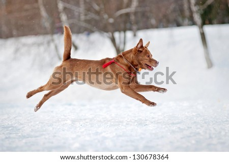 Happy Brown dog running fust in winter - stock photo