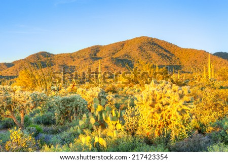 Happy cacti in Sonoran Desert catching days last rays. - stock photo