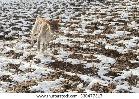 happy calf running in winter land