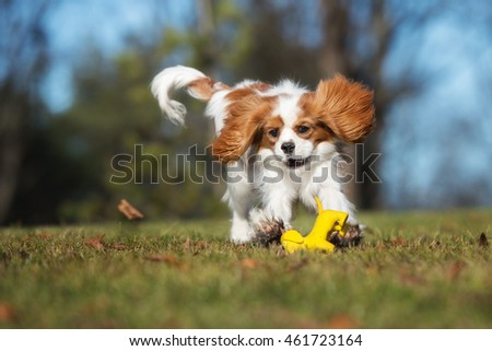 happy cavalier king charles spaniel dog playing with a toy outdoors