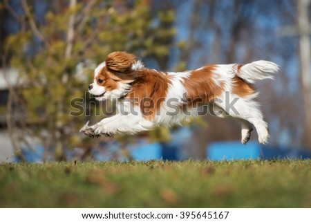happy cavalier king charles spaniel puppy running outdoors