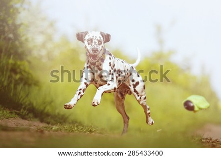 Happy cheerful young beautiful Dalmatian dog puppy flying jump and running on a dirt road - stock photo