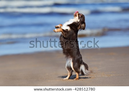 happy chihuahua dog dancing on a beach - stock photo