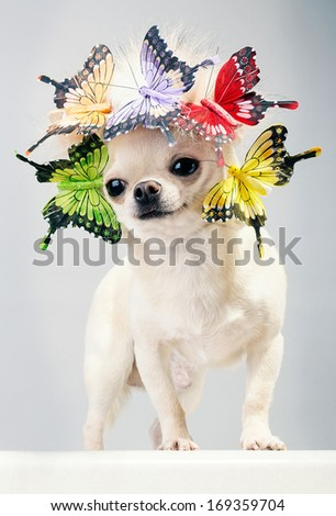happy chihuahua dog in cap with butterflies .