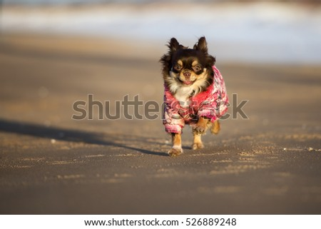 happy chihuahua dog running outdoors in a jacket