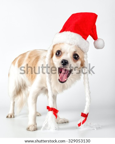 happy Chihuahua dog with Santa hat, pigtails, ribbons and opened mouth for Christmas card design - stock photo