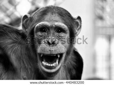 Happy Chimp - stock photo